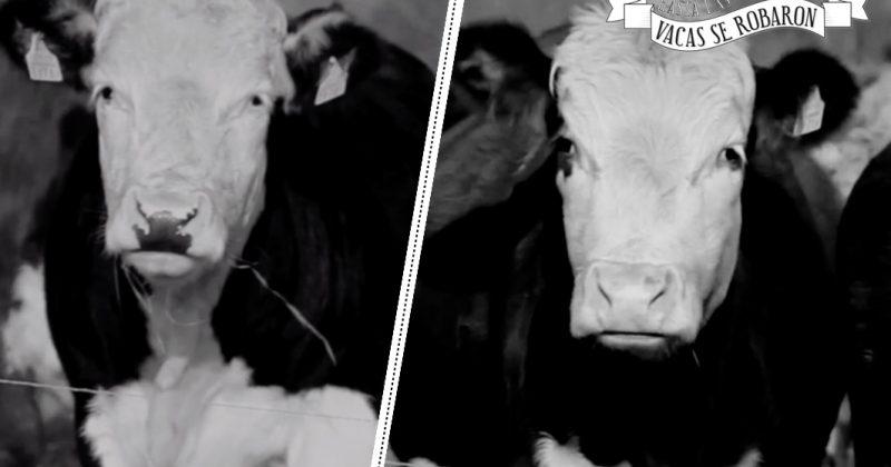 En Chihuahua hasta las vacas se robaron